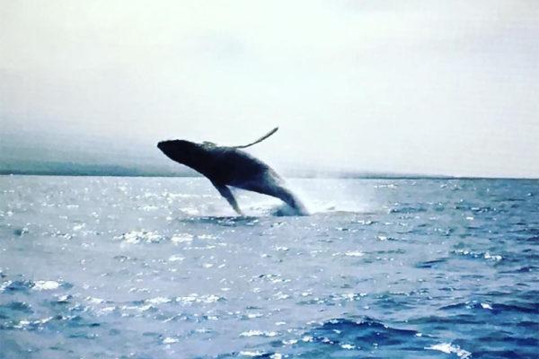 whale breaching - Hawaii