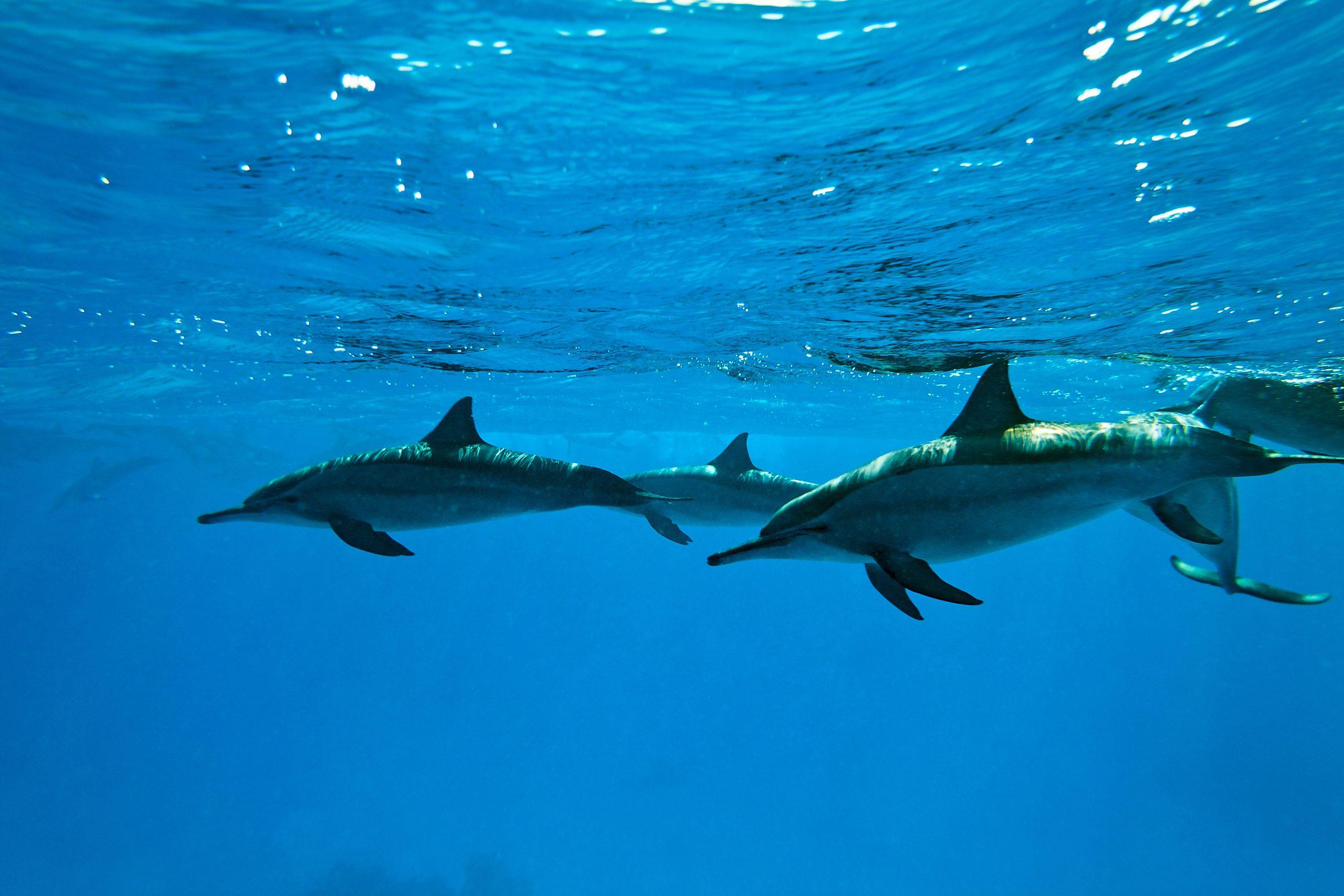 Delfini in njihova vez s človeštvom